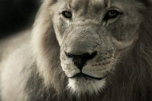 Amoureux des lions ? nos conseils pour intégrer cet animal majestueux à votre déco !